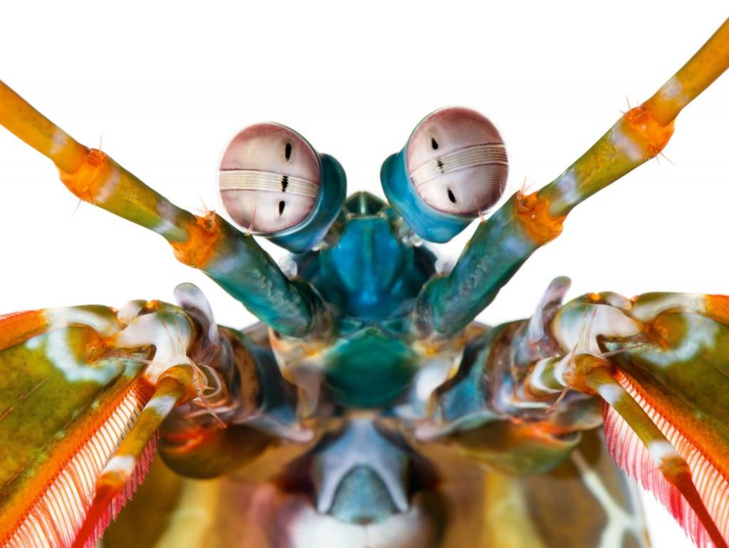 mantis-shrimp-Odontodactylus-scyllarus-color-receptors-1536
